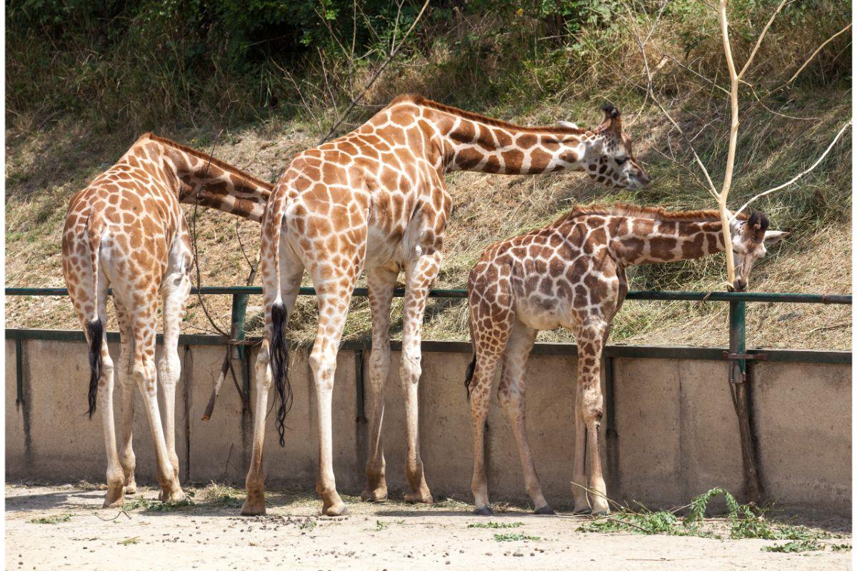 Žirafy Zoo Bratislava
